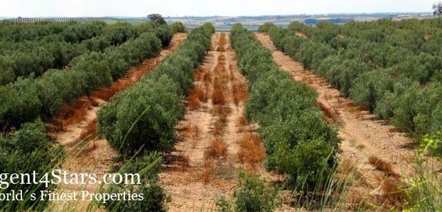 72000 Olive trees – 275 ha