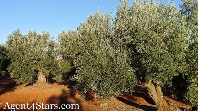 660 Ha – 316 ha Olives
