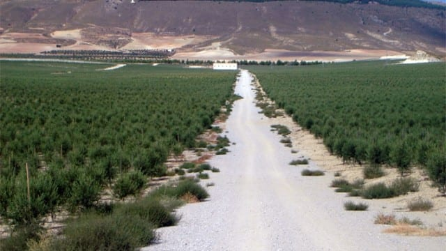 377 Hectares – 315000 Olive trees